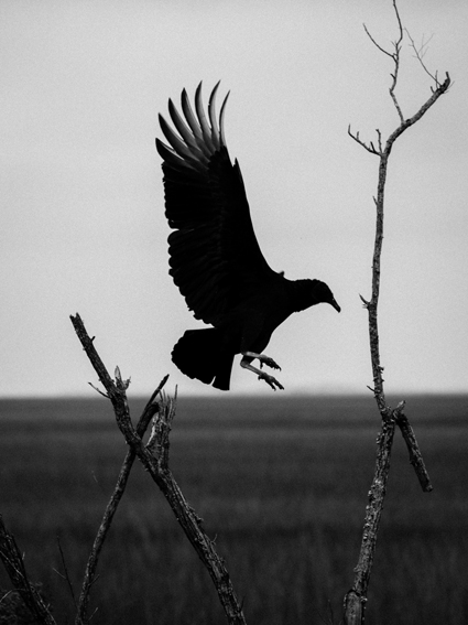 A crow hovers above a branch and the horizon line